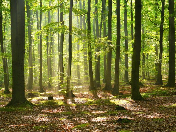 A green beech forest by day, the sun shining through the crowns on the forest floor.